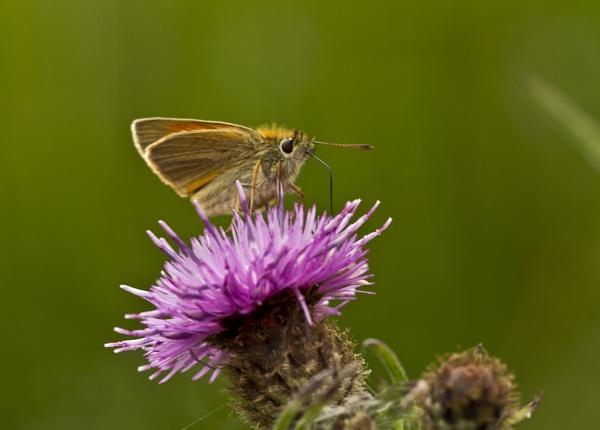 Small Skipper nectaring by rick9449