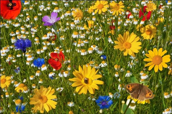 Blainscough Wood Wild Flower Meadow by johncob