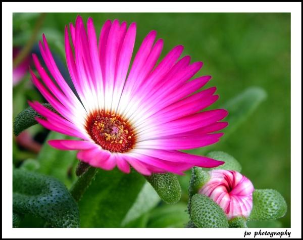 Mesembryanthemum by Jodyw17