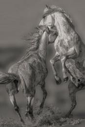Stallions playing