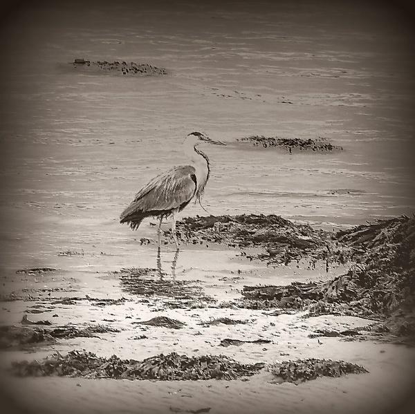 Mono Grey Heron
