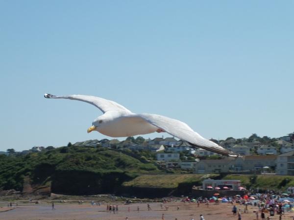 Seagull buzzing Goodrington Sands by Bryan_Marshall