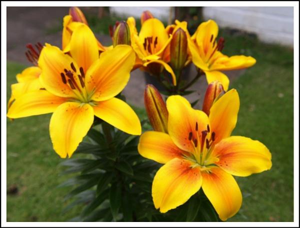 YELLOW LILY FLOWERS by kojack