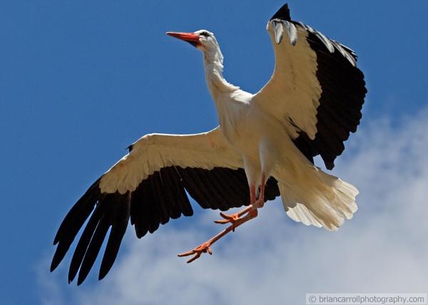 Stork landing by brian17302