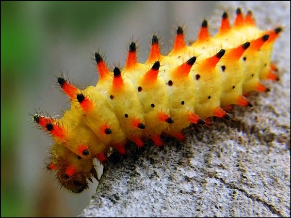 A caterpillar or a clown... by ValeryAst