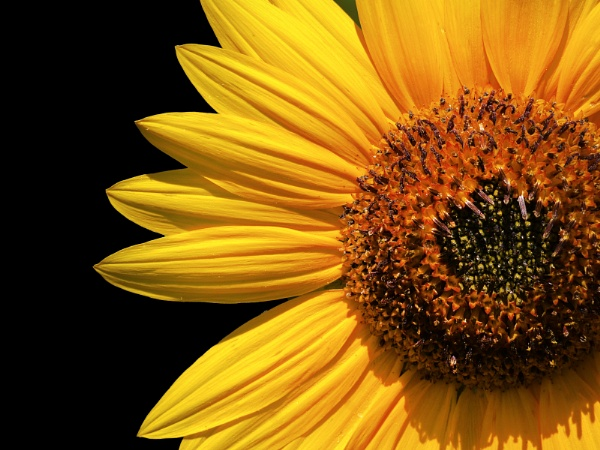 Sunflower 72912 by emadriss