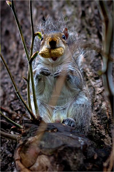 Chipmunk by mclabor
