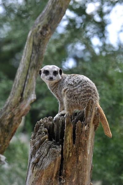 Meerkat by nikonphotographer