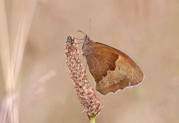 Meadow Brown by Julian