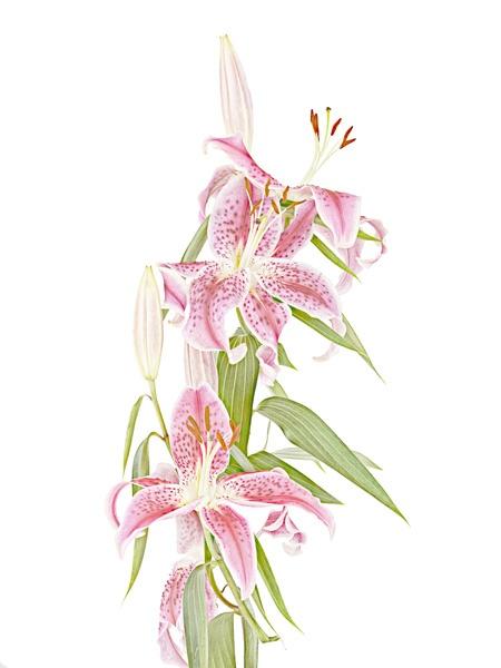 Oriental Lilies by JenniCh
