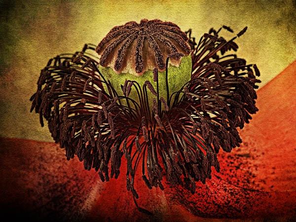 Poppy seedhead by JenniCh
