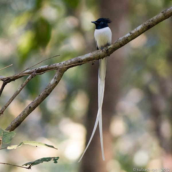 Asian Paradise Flycatcher (Male) by subashcr