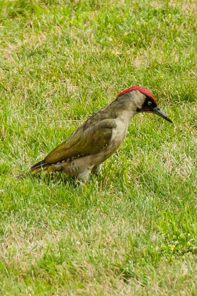 woodpecker by possumhead