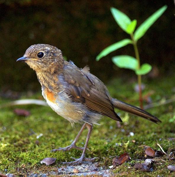Robin by dnwilliams