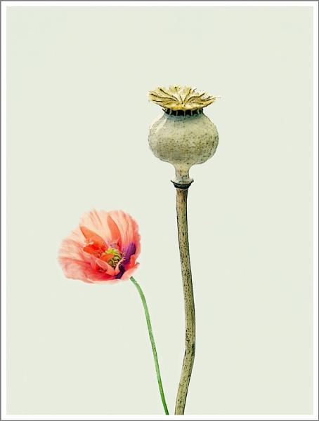 Poppy Life... by Traceyflowerpots