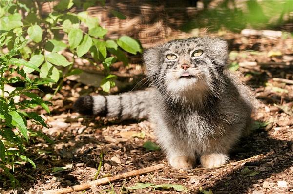 Pallas Cat by HP1485