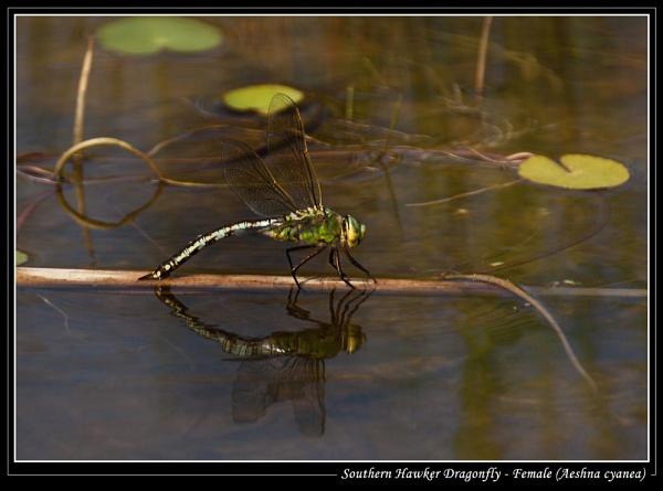 Southern Hawker Dragonfly - Female (Aeshna cyanea) by Ray42