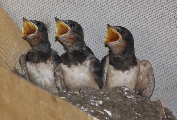 Barn Swallow Chicks. by emacklyn