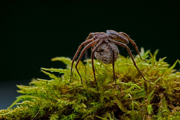 Wolf Spider with Egg sac by mikepearce