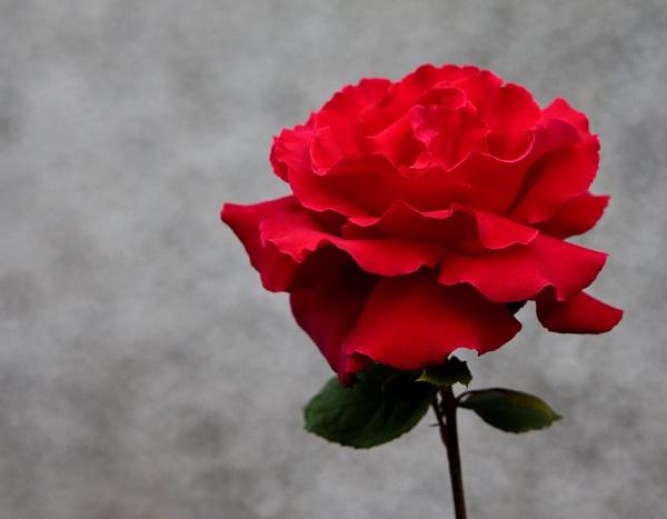 Red Rose by Dado
