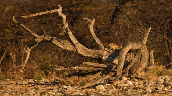 Languishing Leopard by DennisT