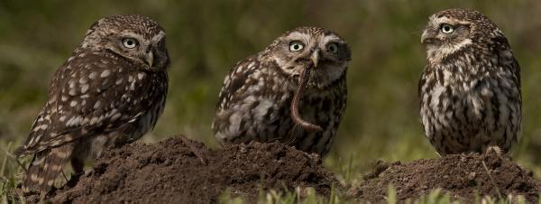 Little Owl Trio   -   Trius Smallus Voracious Wormus Munchus by philhomer