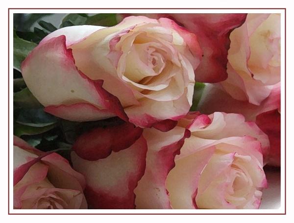 Roses by stephens55
