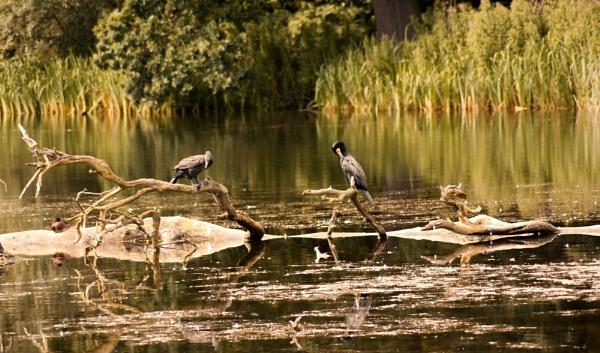 Cormorant mates by hunter031072