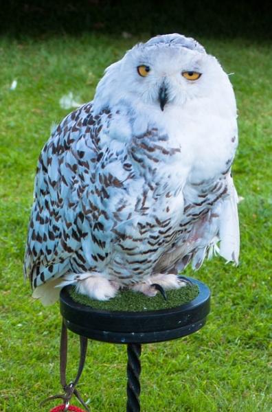 Snowy Owl by macc1