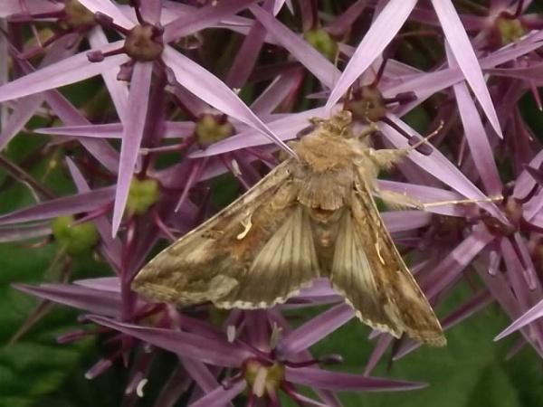 Silver Y moth on allium flower. by Fernowl