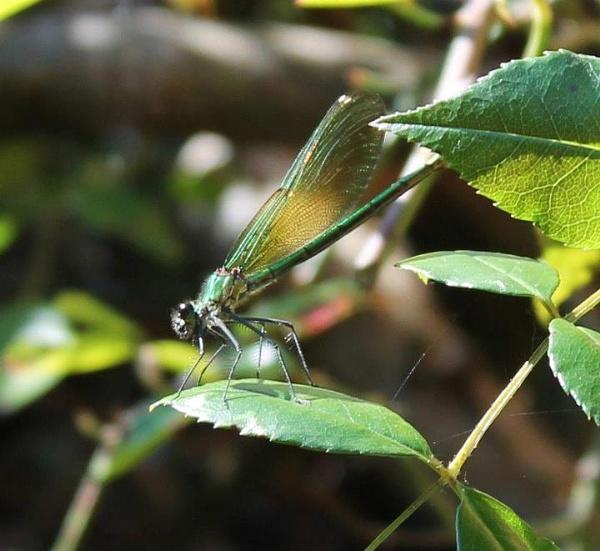 Dragonfly by AliciaWxoxo