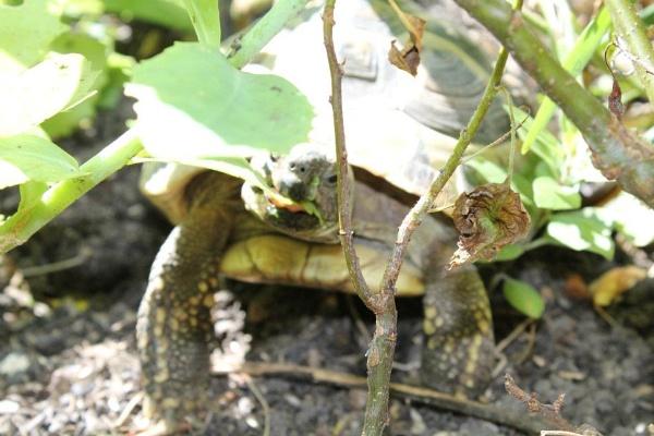 Tortoise Eating by AliciaWxoxo