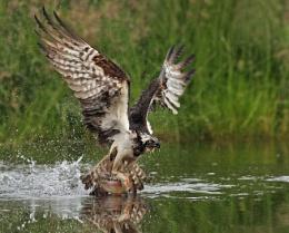 Osprey fishing in Scotland