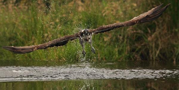 Osprey fishing in Scotland 2 by ScotLass11