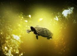 Amazonian Turtle