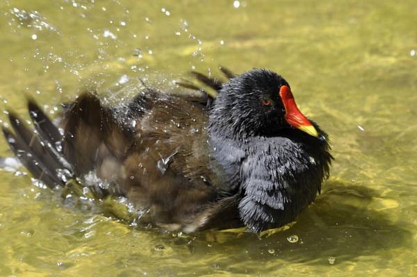 Bird having a Bath ... by nikonphotographer