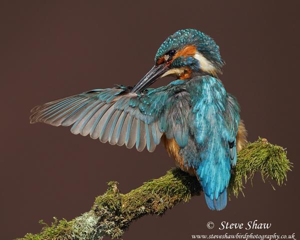 Kingfisher preening by Steve_S
