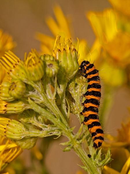 Cinnabar Moth Caterpillar by skewey