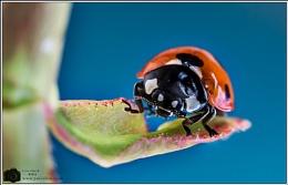 Ladybird on Blue.