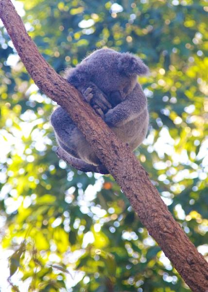 Sleeping Koala by StephenBrighton