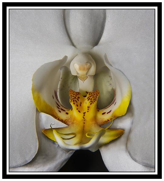 Orchidea by fix