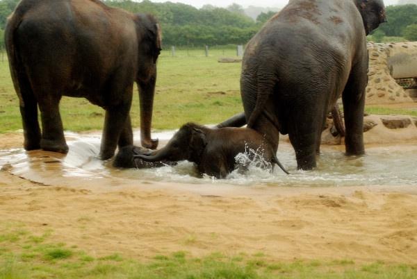 Asian Baby Elephant by jgmford