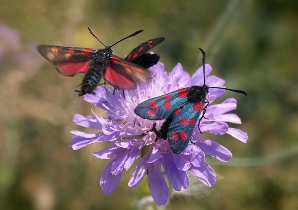 Burnet Moths by cameraman