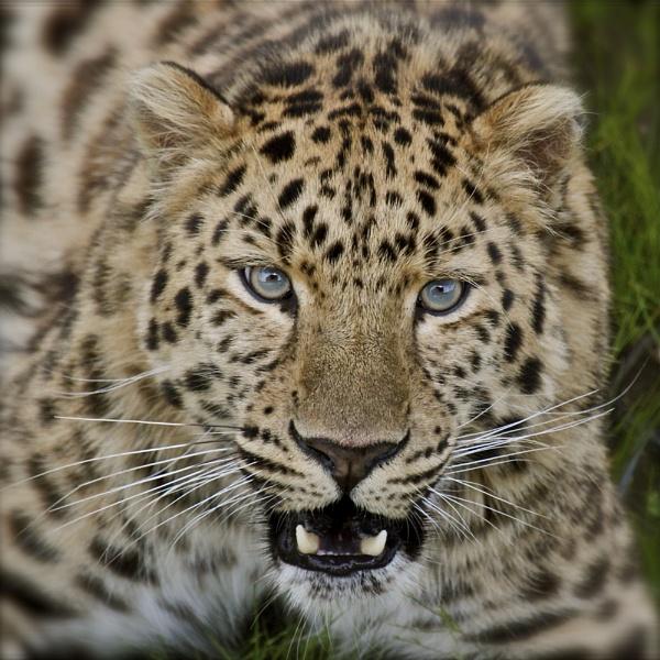 Amur leopard (Panthera pardus orientalis) by altosaxman