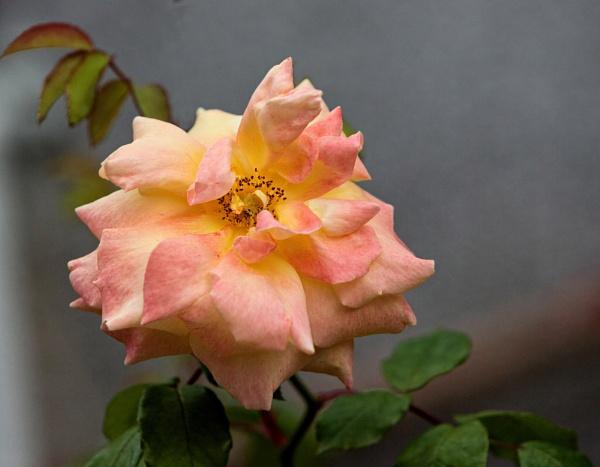 Soft rose by Dado