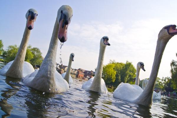 swans by keithsutton