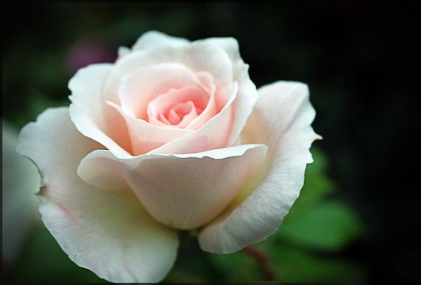 Rose by AliciaWxoxo
