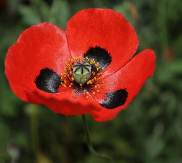 Ladybird Poppy by MoragM