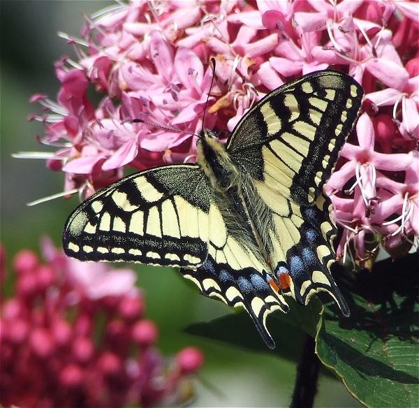 Swallowtail - Top View