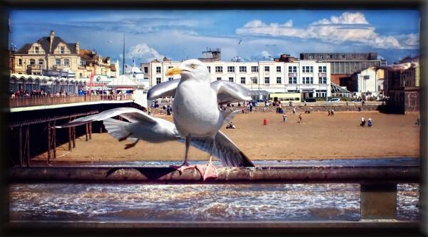 seagull look like got shoulders by paulmanneringphotos